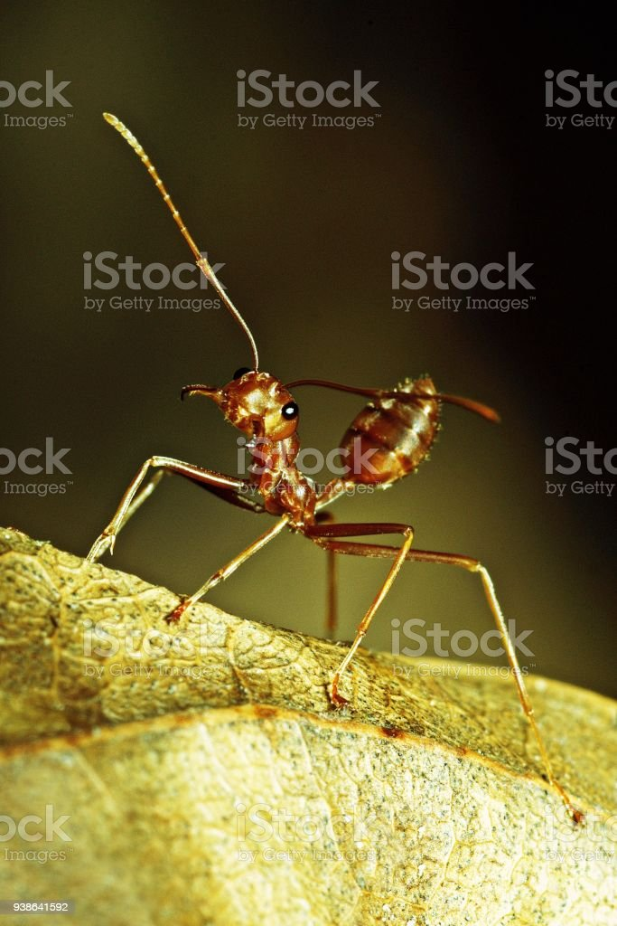 Ant on dry brown leaf. stock photo