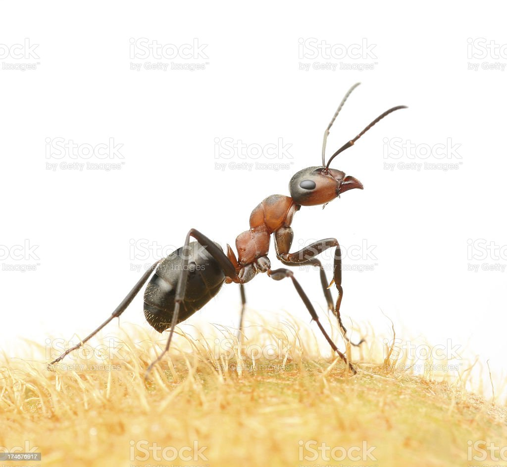 ant on field royalty-free stock photo