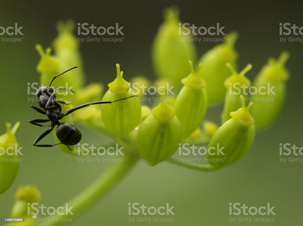 ant on flower taking pose stock photo