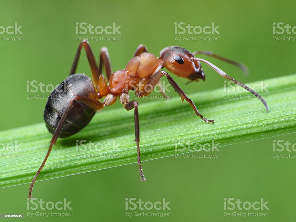 ant on grass ant formica rufa on green grass Animal Antenna Stock Photo