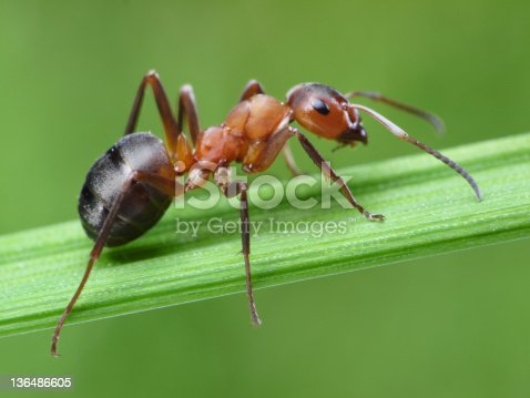 istock ant on grass 136486605
