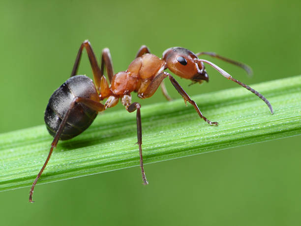 ant on grass ant formica rufa on green grass ant stock pictures, royalty-free photos & images