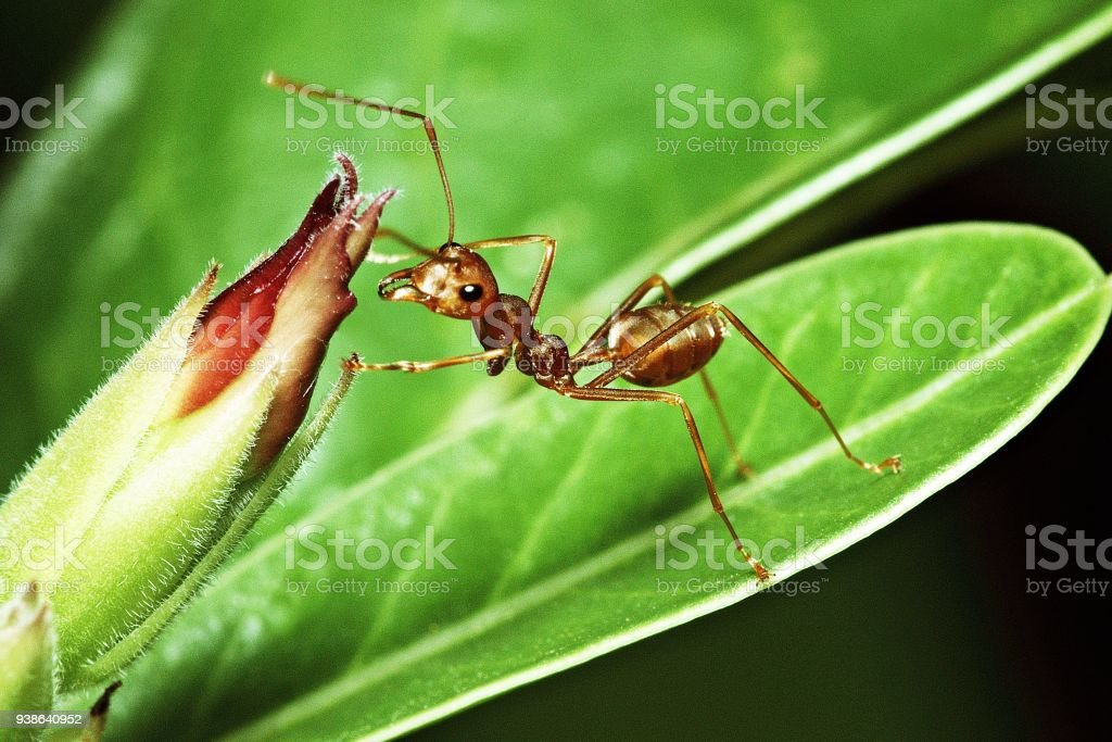 Ant on green leaf and flower. stock photo