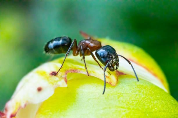 Ant on Peony flower, close-up macro stock photo