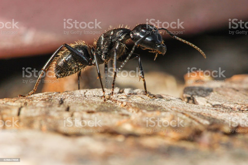 Ant on the stump. stock photo