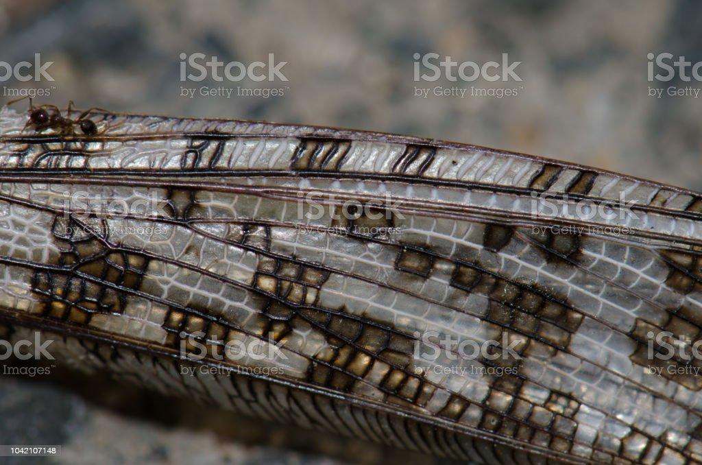 Formiga nas asas de um gafanhoto no deserto (Schistocerca gregaria) morto. - foto de acervo