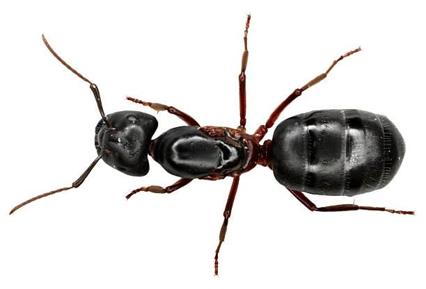 Ant on white background foto