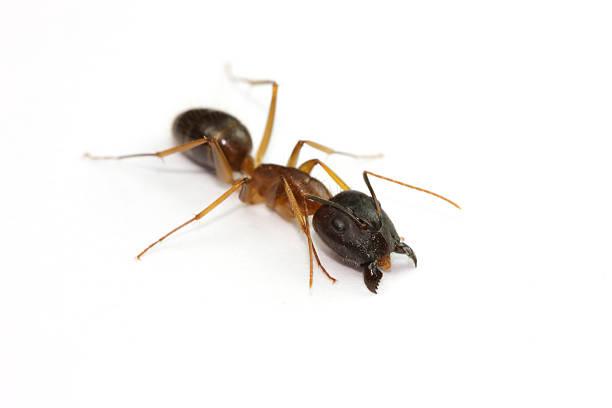 Ant on white background stock photo