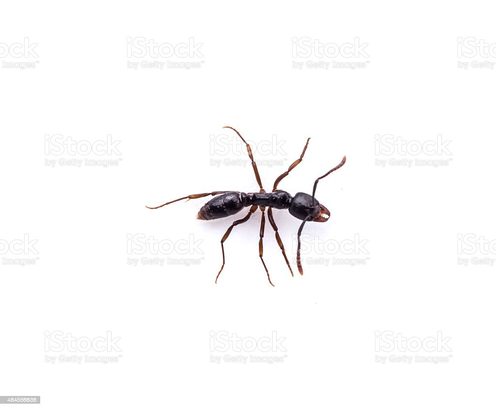 Ant on white background stock photo