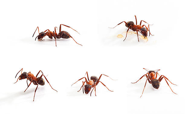 Ant on White stock photo