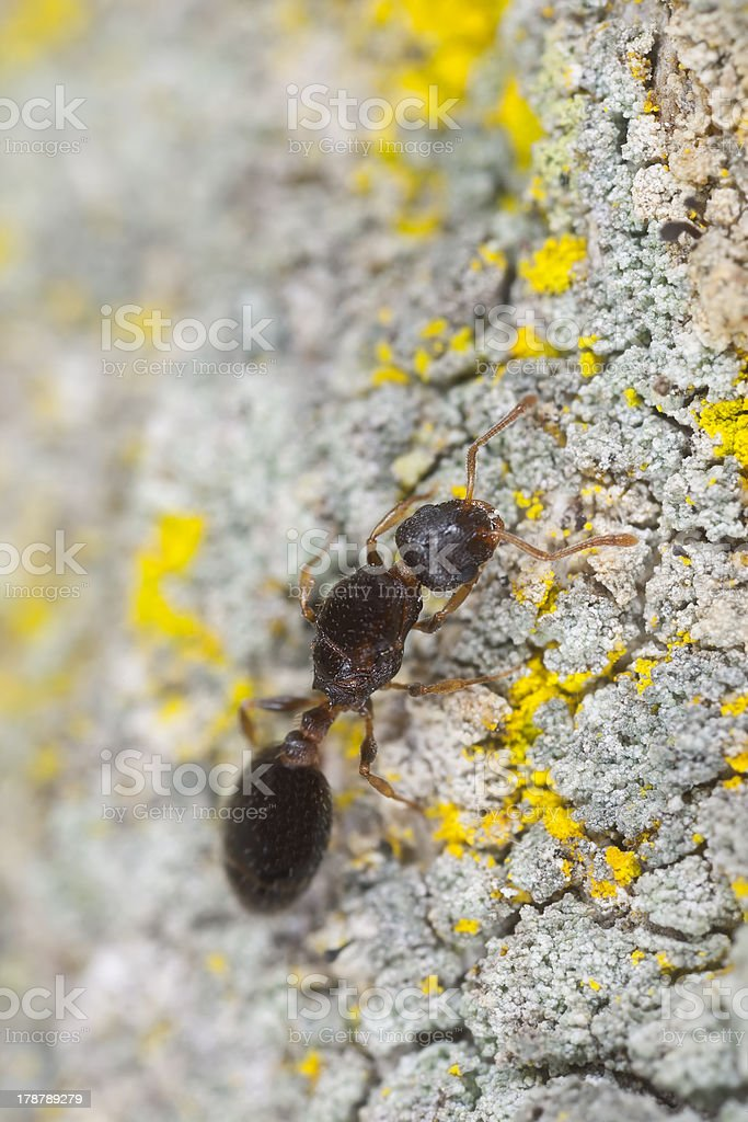 Ant on wood with lichen, extreme close-up royalty-free stock photo