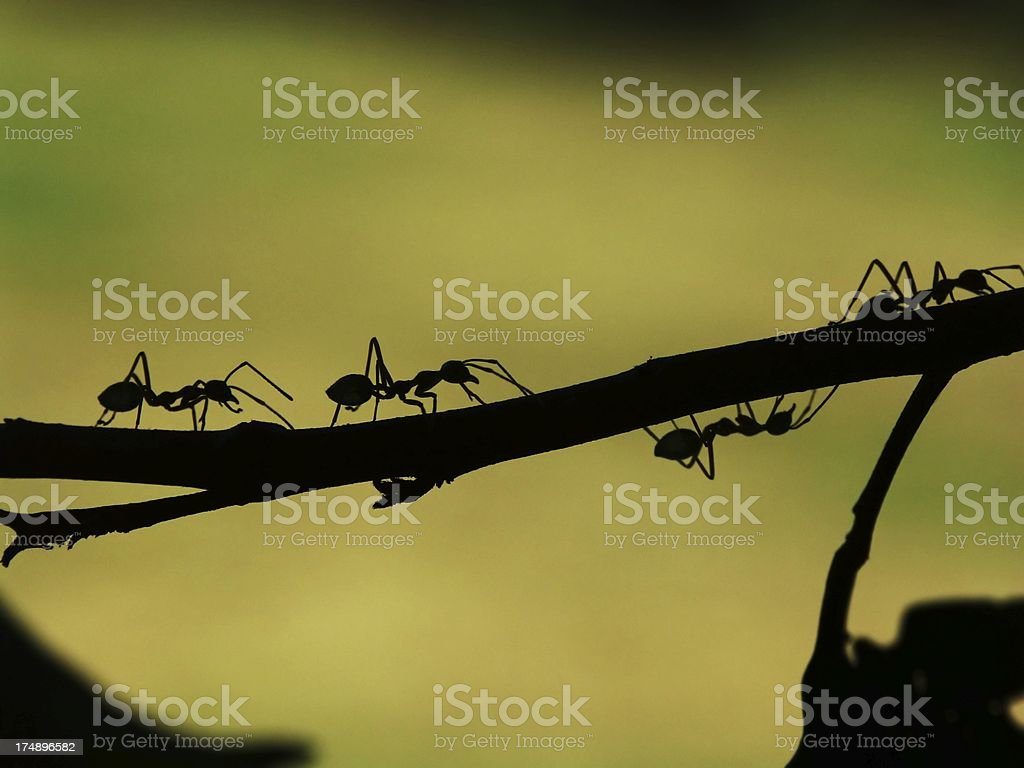 Ant Parade in a Tree royalty-free stock photo
