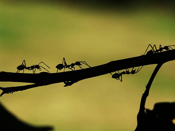 ant parade in a tree - ants working together stock photos and pictures