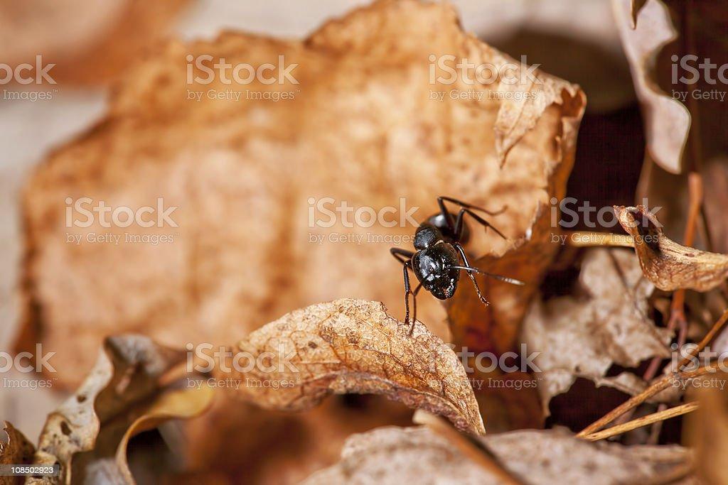 Hormiga - foto de stock