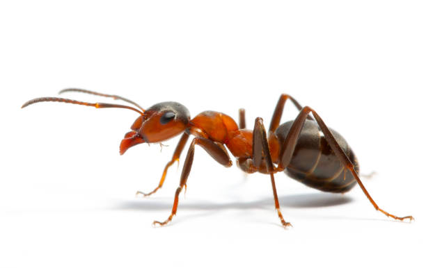 ant ant ant stock pictures, royalty-free photos & images