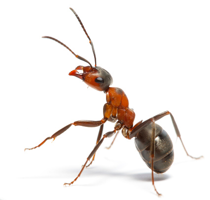 Ant Stock Photo - Download Image Now