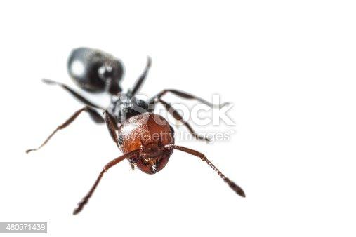 istock Ant 480571439