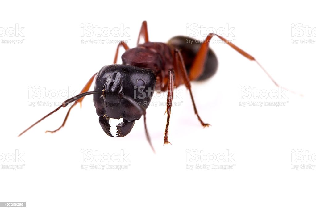 Ant (Formica pratensis) royalty-free stock photo