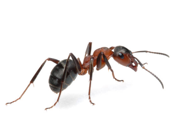 Ant  ant stock pictures, royalty-free photos & images