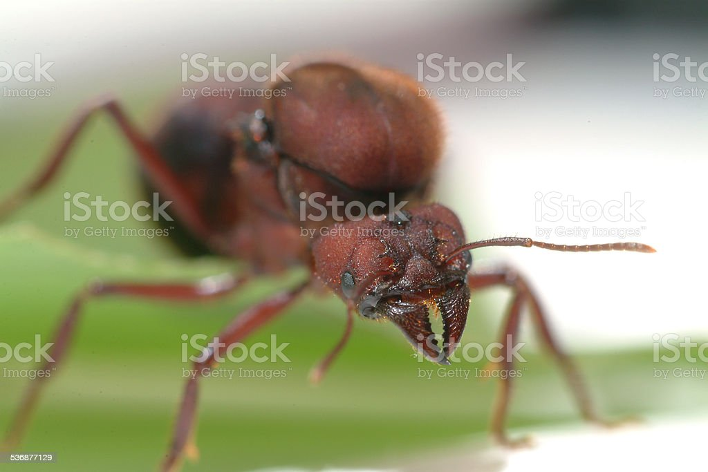 Ant queen ants stock photo