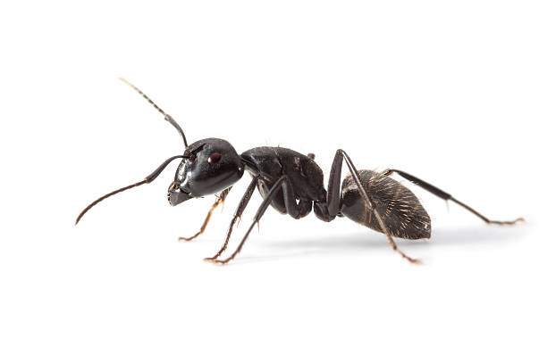 Ant side view foto