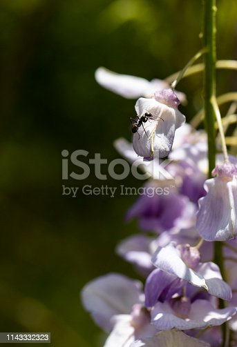 istock Ant Sits in Sunshine on Wisteria Bloom 1143332323
