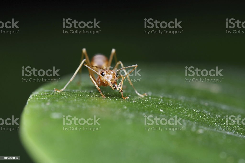 Ant walk on leaf in the garden royalty-free stock photo