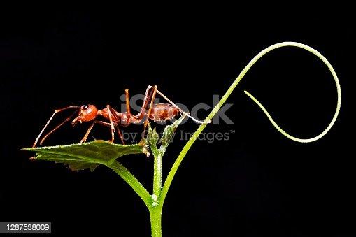 Ant walking on branch - animal behavior.