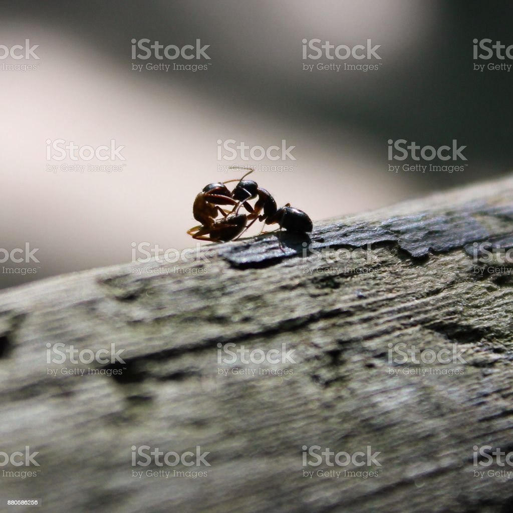 Ant war stock photo