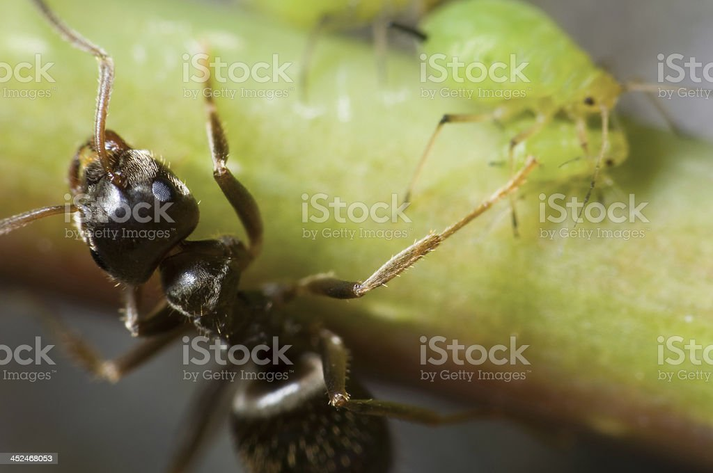ant with aphids stock photo