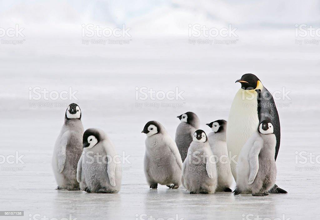 Antarctic Babysitter  Animal Stock Photo