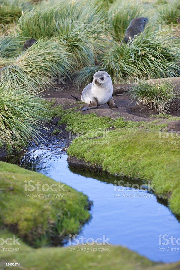 Antarctic elephant seal pup on South Georgia royalty-free stock photo