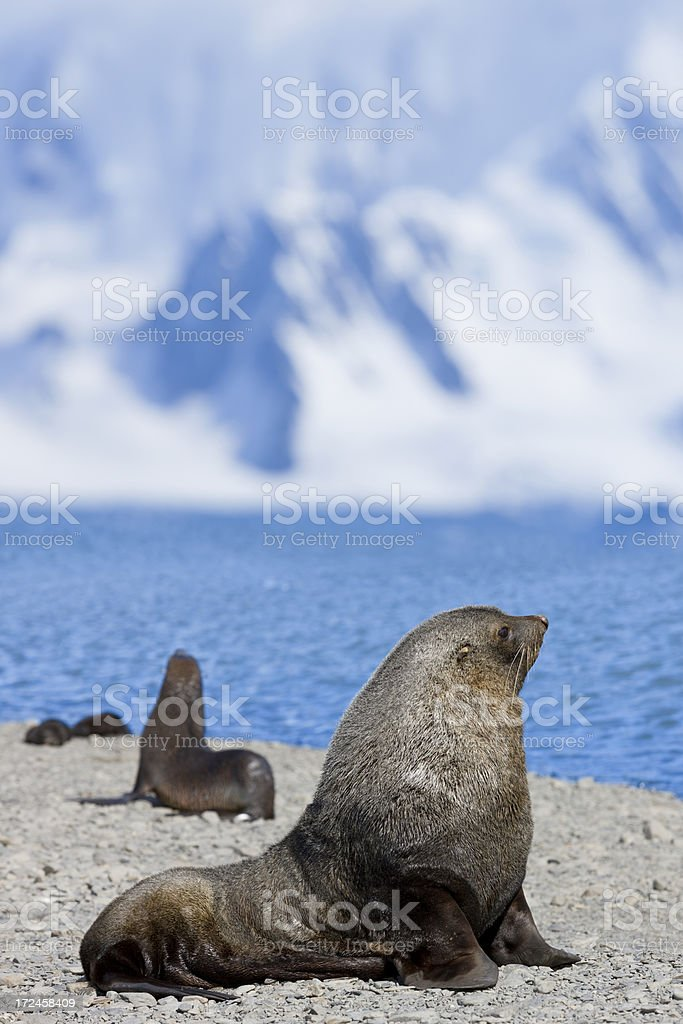 Antarctic fur seal male on South Georgia royalty-free stock photo