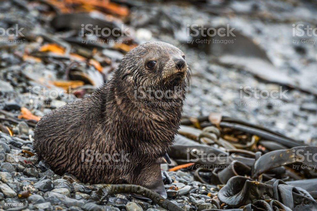 Antarctic fur seal on shingle and seaweed stock photo