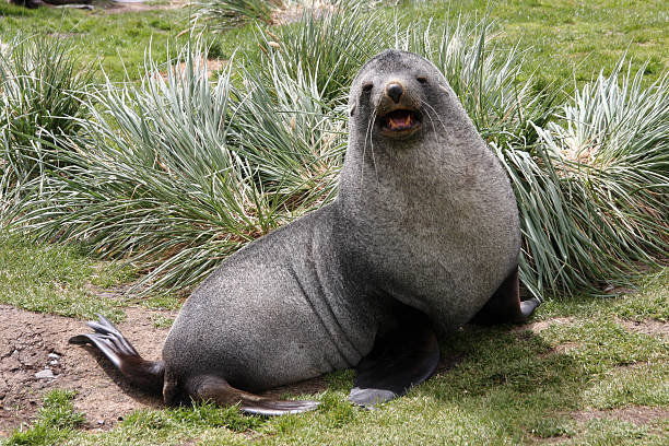 Antarctic fur seal on South Georgia Antarctic fur seal on South GeorgiaRelated images: south georgia island stock pictures, royalty-free photos & images