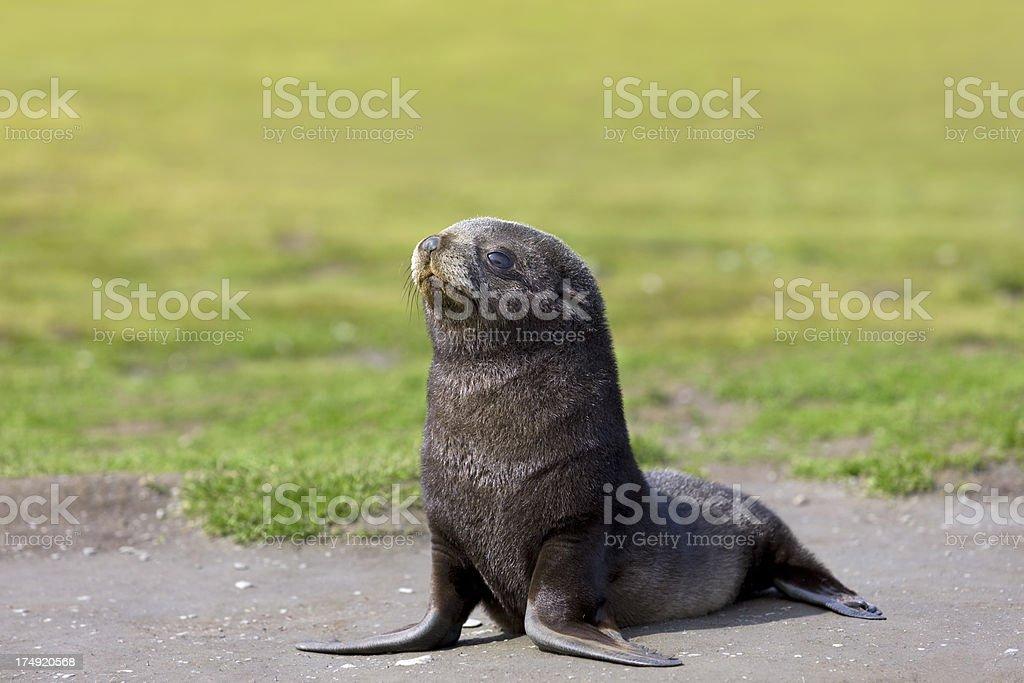 Antarctic fur seal pup on South Georgia royalty-free stock photo