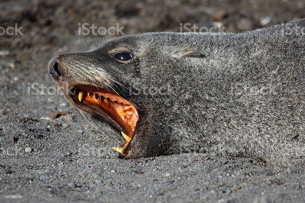 Antarctic fur seal showing teeth, Antarctica stock photo