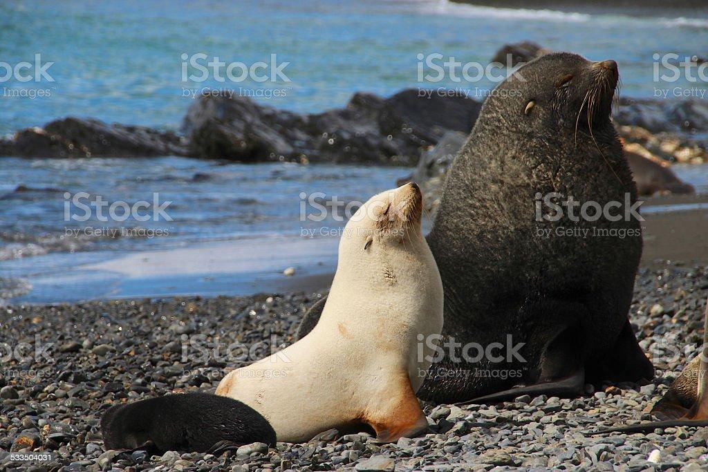 Antarctic fur seals, Fortuna Bay, South Georgia stock photo
