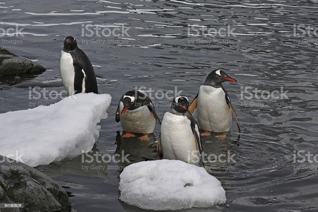 Antarctic Gentoo Penguins Coming Ashore royalty-free stock photo