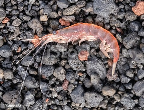 Antarctic Krill, the small crustaceans enormously important element of the Southern ocean food chain.
