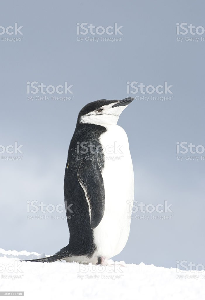 Antarctic penguin in the sky in a haze. stock photo