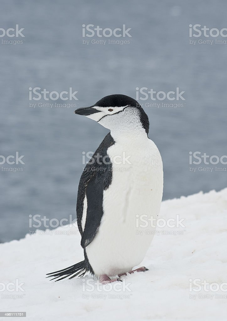 Antarctic penguin on a ski slope. stock photo