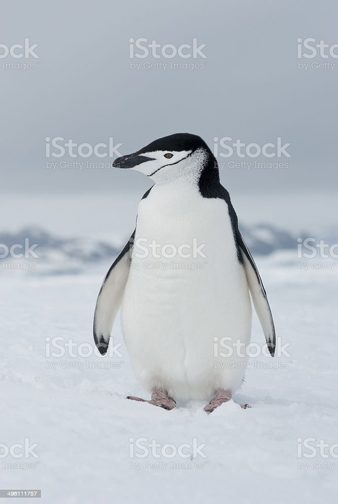 Antarctic penguin winter overcast day. stock photo