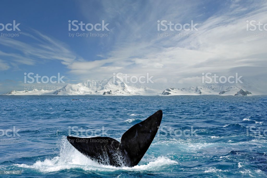 Antarctic tail圖像檔