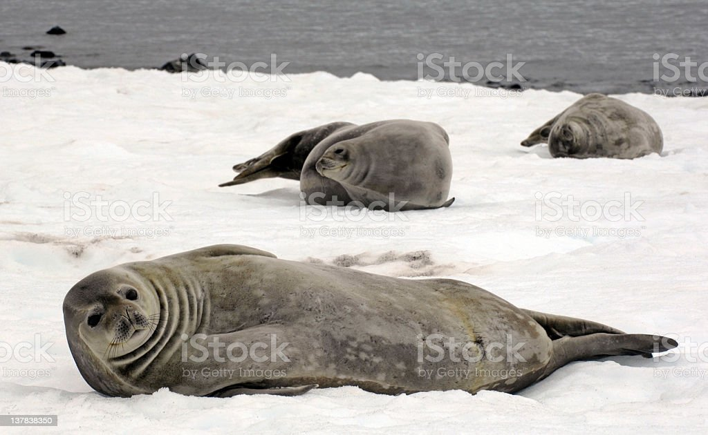 Antarctic Weddell Seals stock photo