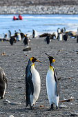 Pair of King penguins standing tall and bonding, in a large colony of penguins, on the beach at St. Andrews Bay, South Georgia, inflatable raft with tourists in background