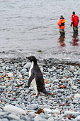 Adelie Penguin walking on the rocky beach at Turret Point, South Shetland Islands, two people in waders standing in water in background