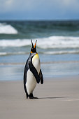 Single King Penguin standing on a sandy beach standing tall calling for its mate, against an ocean and sky background, Falkland Islands