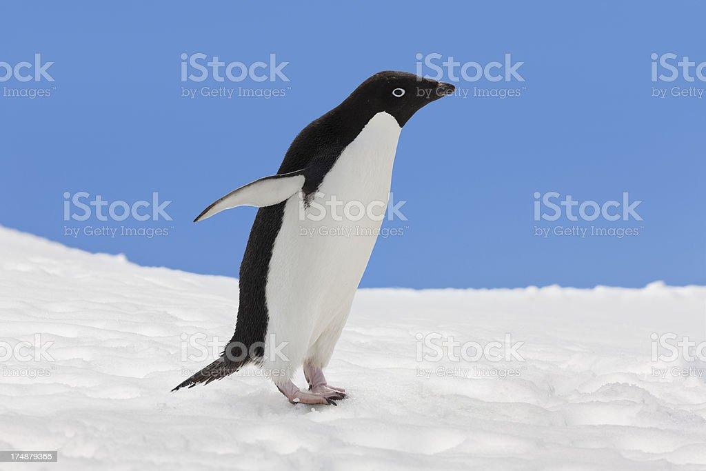 Antarctica Adelie penguin in snow landscape stock photo