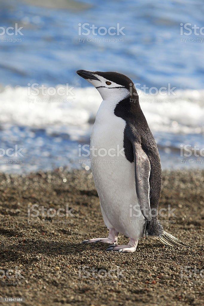 Antarctica chinstrap penguin at beach royalty-free stock photo